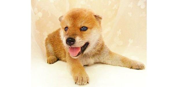 純朴なかわいさがたまらない!柴犬などの日本犬は根強い人気