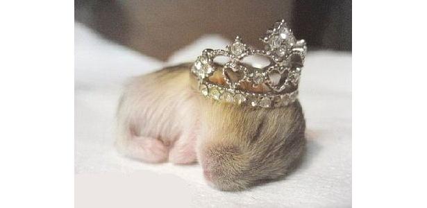 指輪がティアラのよう。ハムスターの赤ちゃん