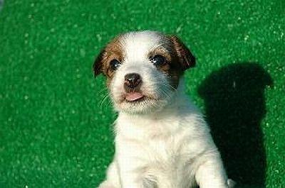飼いやすい小型犬は日本でも人気