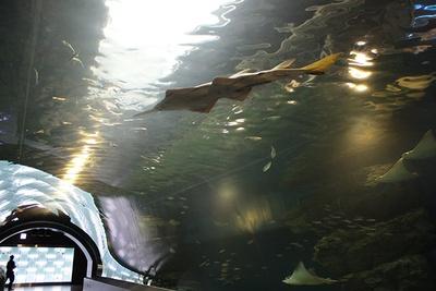 トンネル型の水槽、ウォーターチューブには、約10種類のエイを展示。たなびくように泳ぐ美しいエイの姿は必見