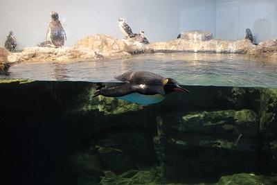 ワイルドストリートのペンギンたち。水中を泳ぐ姿も楽しめる