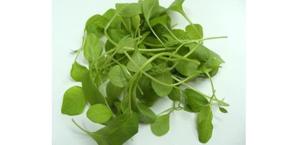 「若返りの妙薬」として使われていた伝統的ハーブ(インド人参)の幼苗、「ビターナ」