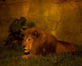百獣の王、ライオンの夜の生態を観察