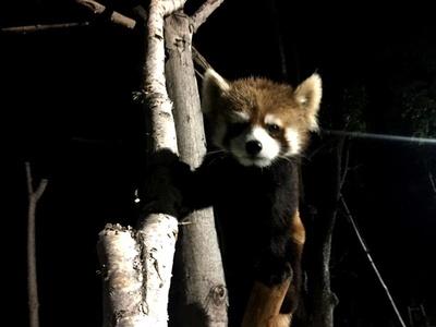 基本的には夜行性のレッサーパンダ。主に笹を主食とするが、リンゴやブドウといった甘い果物が大好き。木登りも上手なので、木の上を歩く姿に注目しよう