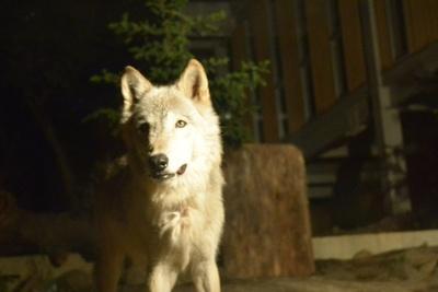 昼間も活動するが、夜はさらに元気いっぱいのシンリンオオカミ。特に夜の食事タイムは必見。4匹の親子が走り回りながら食事をする迫力のシーンが見られる
