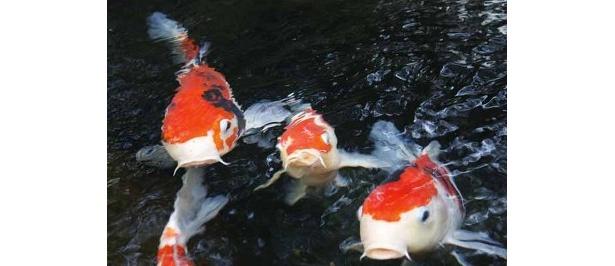 「水月ホテル鴎外荘」の池にいた錦鯉たち(日記撮影)