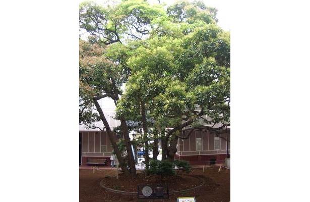 これが玉楠の木です! ハマっ子なら一度は見ておくべし