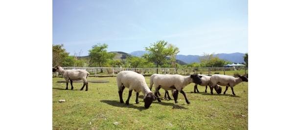 中津川ふれあい牧場ではヒツジを中心とした200頭以上を飼育