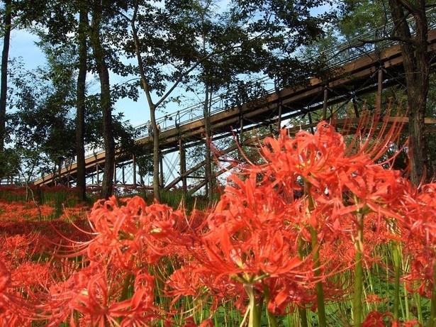 """曼珠沙華(ヒガンバナ)は、9月中旬からが見頃。美しく咲き乱れる""""赤いじゅうたん""""を見に出かけよう"""