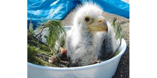 オオワシの人工ふ化約10日後のヒナの姿。小さいながらも食欲が旺盛になってきた