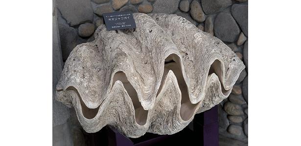 超デカ!重さ194kgの巨大なオオジャコガイ【ほか魅惑の貝画像】
