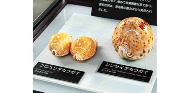 世界五名宝」「日本三名宝」と呼ばれる「タカラガイ」など、世界的にも貴重な貝コレクションがそろう