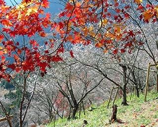 全国的にも珍しい、約7000本の冬桜が咲き誇る