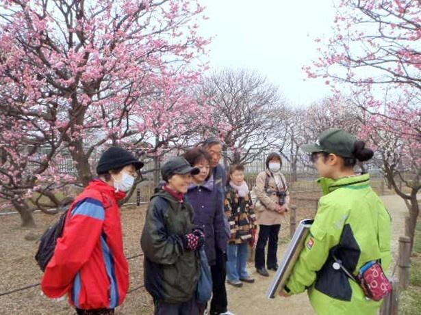 【写真を見る】公園スタッフによる「梅見ガイドツアー」は参加費無料