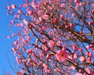 濃いピンクにヒダの付いた花びらが特徴的な「八重寒紅(ヤエカンコウ)」