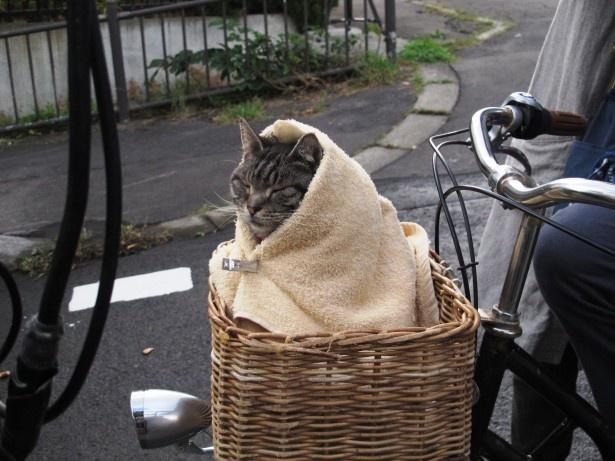 【写真を見る】自転車の籠にすっぽりおさまる、愛猫「キャベツ」