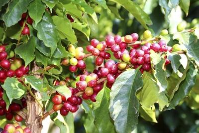 赤く熟したコーヒーの実。果皮と果肉を除き焙煎したものが、コーヒーの生豆になる