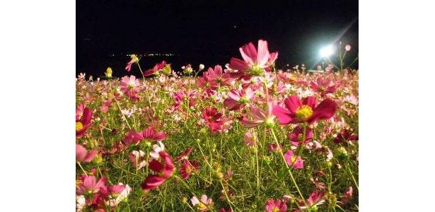 幻想的な雰囲気漂う夜のコスモス