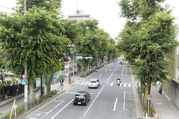 阿佐ケ谷駅北口から続くケヤキ並木は、初夏には新緑が生い茂り、秋には紅葉が楽しめる