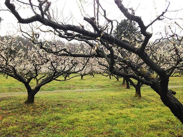 叶匠寿庵 寿長生の郷には、1000本の梅など数々の植物が植えられている