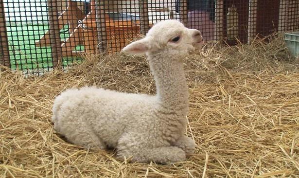 アルパカの赤ちゃんのお座り姿はこちら