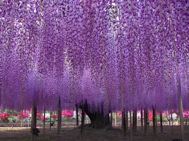 栃木県の天然記念物に指定されている、広さ約1000平方メートルの「大藤棚」
