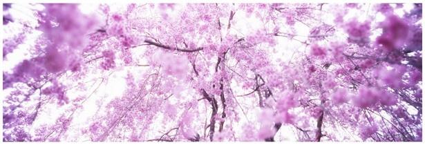 満開の三春滝桜(みはるたきざくら)を撮影した清水由紀子の写真作品「fukushima」