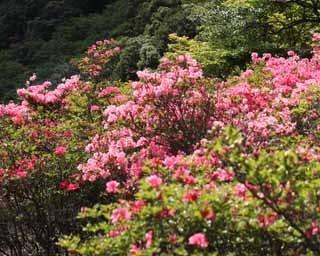 雄大な三原山をバックに咲き誇るツツジの花を満喫