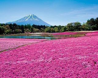 5月29日(日)まで開催中のイベント「2016富士芝桜まつり」