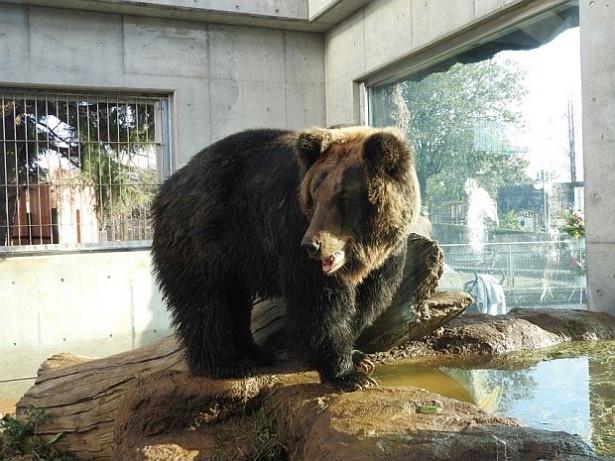 東武動物公園の新クマ舎「ヒグマの森 ~Japanese Big Bear~」