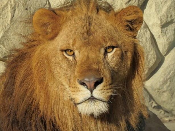 千葉市動物公園のライオン展示場「京葉学院ライオン校」