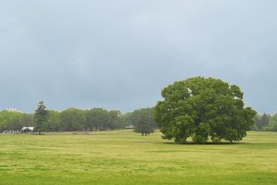 園内のちょうど真ん中にあり、高さ20メートルを超える大ケヤキが目印の「みんなの原っぱ」(「国営昭和記念公園」)