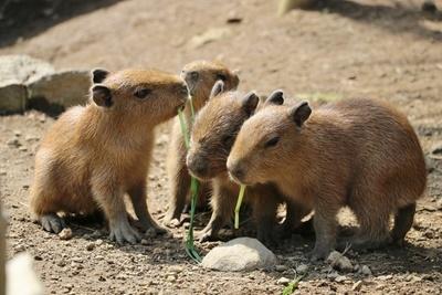 4月に誕生し、すくすく育つ4頭の赤ちゃんカピバラ