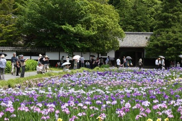 この期間、約1万本の花菖蒲が咲き乱れる