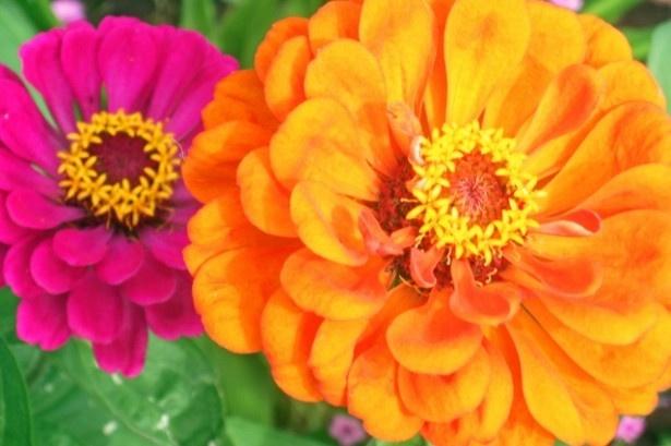100万本の百日草は、名前の通り、開花時期が長いことが特徴。花の色も白、赤、ピンク、オレンジ、黄色など、色鮮やかな花が開花する。開花時期は7月下旬~10月上旬