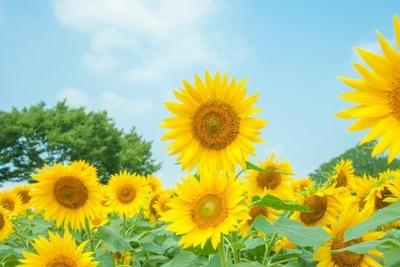 【写真を見る】ヒマワリは35万本を植栽。開花時期は8月下旬~9月上旬