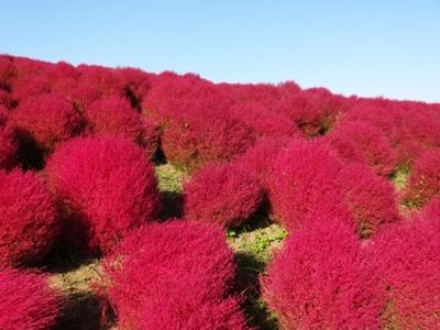 """植栽本数4万本のコキア。和名をホウキグサといい、キアの実は「とんぶり」で""""畑のキャビア""""として親しまれている。紅葉時期は9月下旬~10月上旬"""