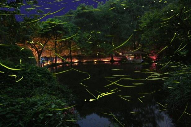 ほたるの群舞は日本の初夏を代表する夜景色。自然が豊かな伊豆ならではの光景だ