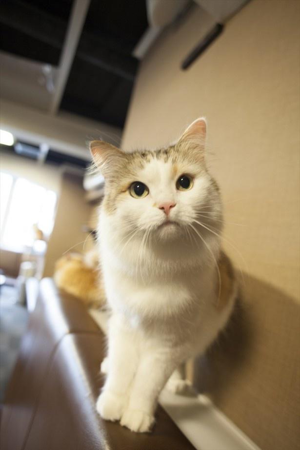 「猫カフェ きゃりこ 新宿店」の看板猫・こまちちゃん。ダイナマイトバディの癒し系おっとり美女だ 撮影=五十嵐健太