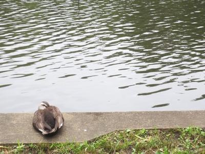 「石神井公園」の池のほとりで休憩中のカモ