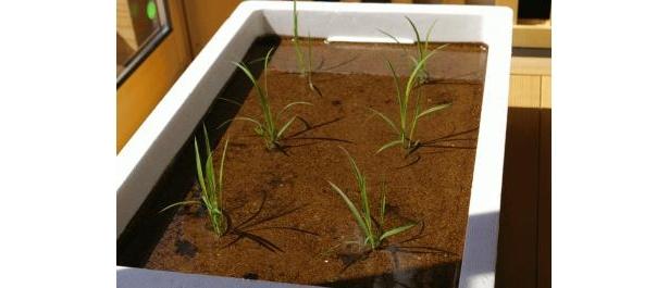 田植えから収穫までが体験できる栽培キット「箱田んぼ」