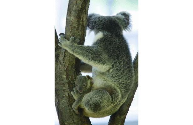 とにかくかわいい!袋から顔を出すコアラの赤ちゃん(横浜市立金沢動物園)