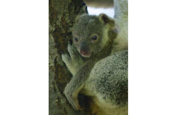驚きの小ささ!コアラの赤ちゃん拡大写真