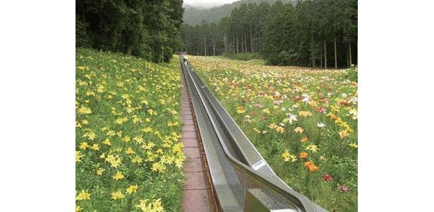 箱根ピクニックガーデン ゆり園