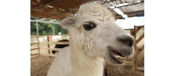 氷取沢ファミリー牧場のマッシュちゃん。チャームポイントはつぶらな瞳で、背中を優しくなでられるのも好き