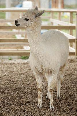 アルパカは触れ合い広場に5頭いる。エサ(300円)をあげたり、6月に毛刈り済みだが冬にはそのフカフカの毛に触わることも!