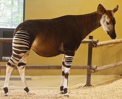 よこはま動物園ズーラシアのカンセイちゃん