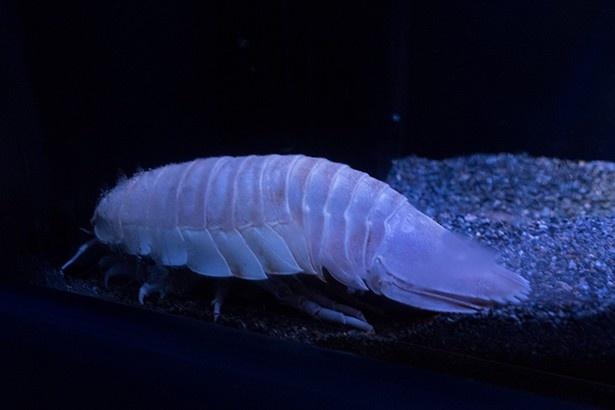 ネットで人気の深海生物、ダイオウグソクムシ