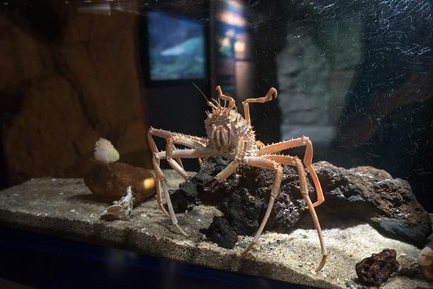 深海生物オオホモラ。静岡県沼津市でショイガニと呼ばれている