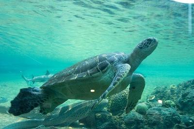 巨大なウミガメが泳ぐ姿は圧巻!